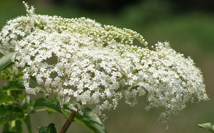 Baby S Breath Flower Meaning Symbolism And Colors