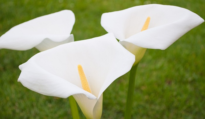 However, the calla lily flower has strong symbolism even today. This flower is related to purity and innocence at the first place.