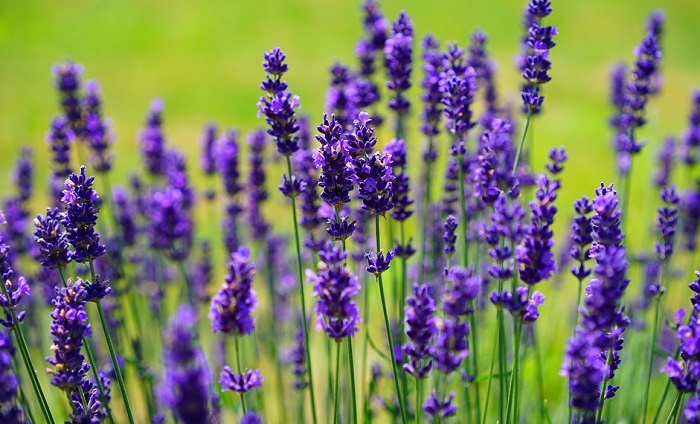 Lavender Flower – Meaning, Symbolism and Colors