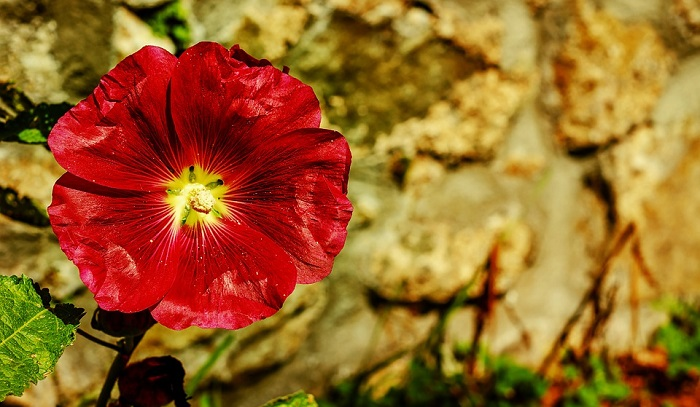 Stock Flower Meaning Symbolism And Colors