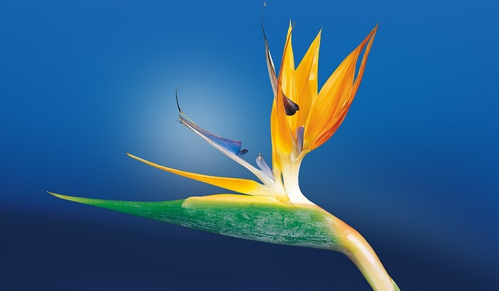 Bird Of Paradise Flowers Pictures Of Flowers At Flowerinfo Org