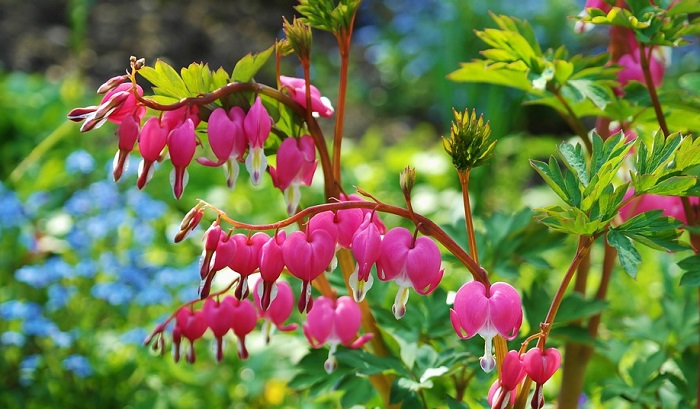 Bleeding Heart Flower – Color and symbolism