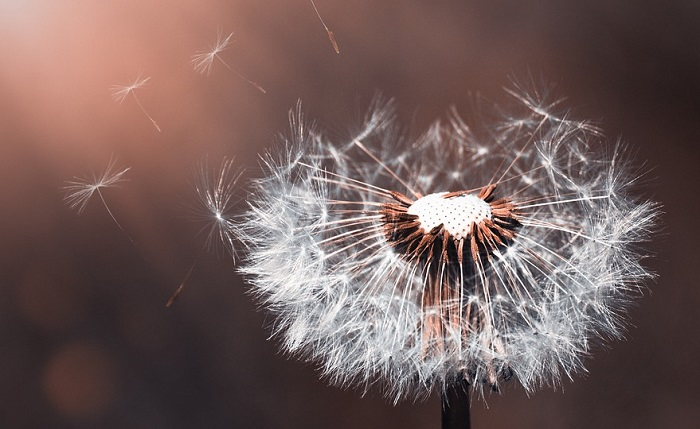 Dandelion Flower Meaning Symbolism And Colors