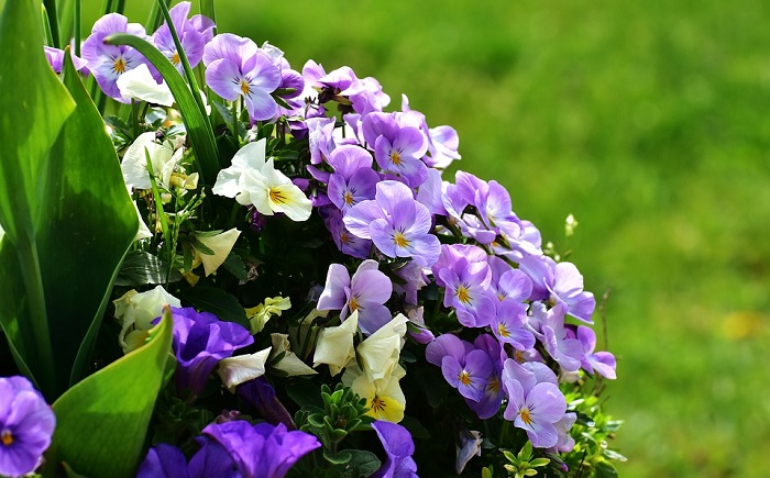Pansy Flower Meaning Symbolism And Colors
