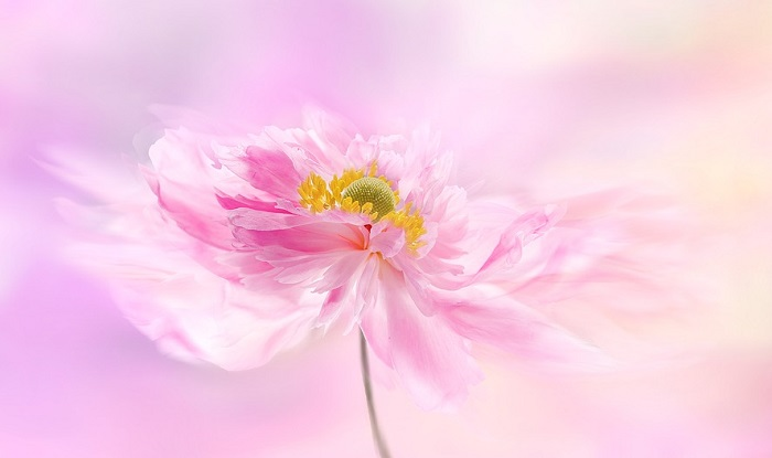 Peony Flower Meaning Symbolism And Colors