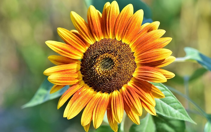 Image result for sunflower meaning