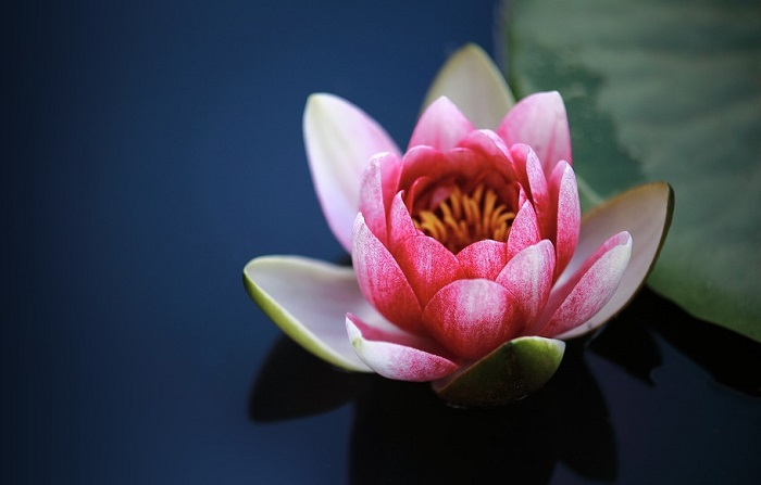 Lotus Flower Meaning Symbolism And Colors