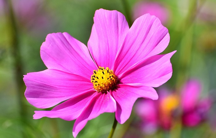 Cosmos Flower – Meaning and Symbolism