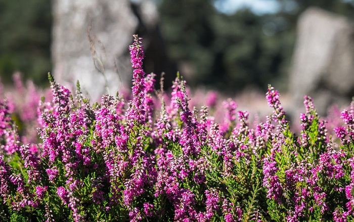 Heather Flower Meaning Symbolism And Colors