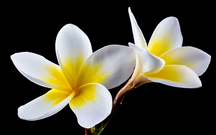 e8019e0dd In the end, the Plumeria flower reminds us of non-intrusive beauty. We live  in a world where everything is too enhanced, there is no natural, pure  beauty.