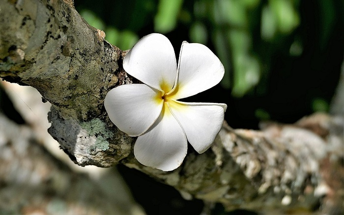 eb659c8ce Plumeria Flower – Meaning, Symbolism and Colors