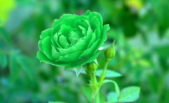 Green Rose Meaning And Symbolism
