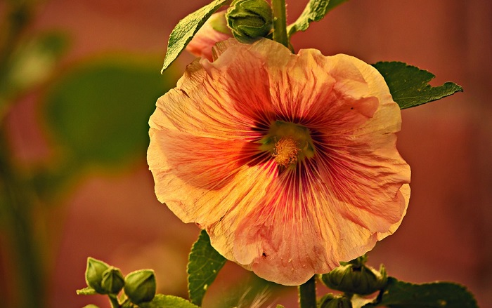 Hollyhock Flower – Meaning and Symbolism