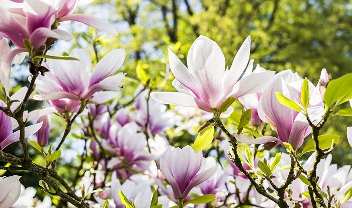 Magnolia Flower Meaning Symbolism And Colors