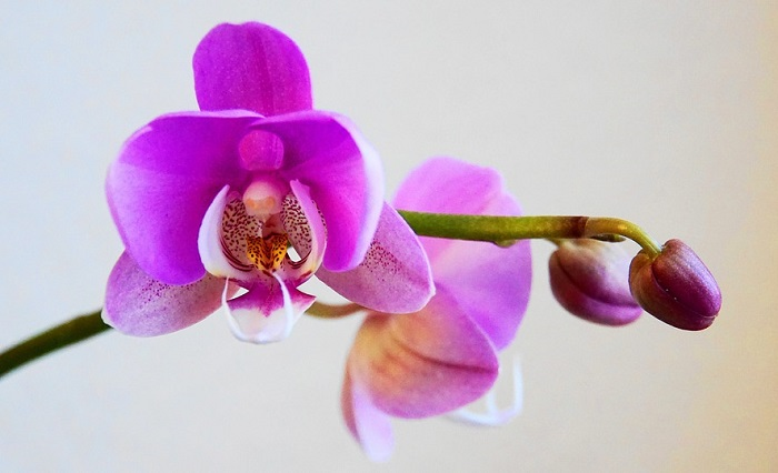 Orchid Flower Meaning Symbolism And Colors