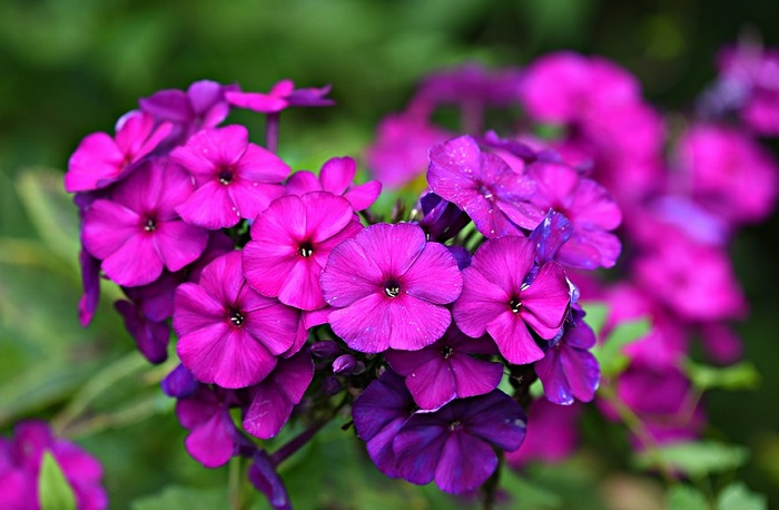 Phlox Flower – Meaning and Symbolism